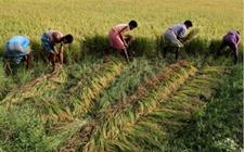 <b>2017-2018年印度秋粮产量或将超过去年的1.38亿吨纪录</b>