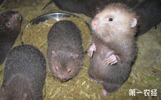 竹鼠养殖技术