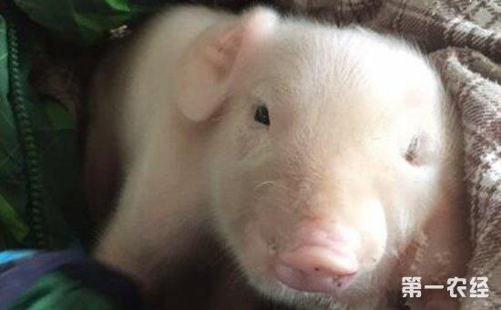 """稀奇!徐水惊现""""三眼两鼻两嘴""""猪崽   引发周围邻居高度关注"""