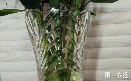 水培富贵竹叶子发黄怎么办?水里放点这些东西就能搞定