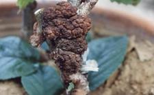 果树根瘤病的药剂及配制方法
