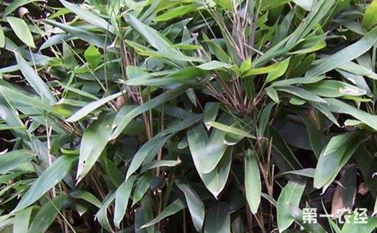 箬竹怎么种?箬竹种植时间与种植密度