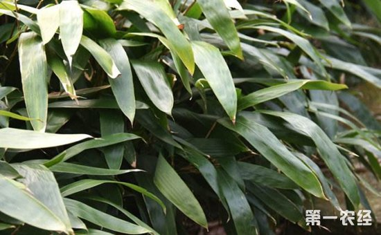 箬竹种植前景如何?箬竹种植效益分析