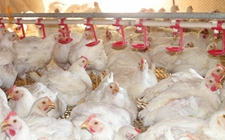 <b>肉鸡的养殖密度问题</b>