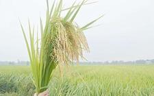 水稻早衰的原因及其防治措施
