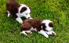 狗狗肛门囊炎怎么手术?犬肛门囊摘除术