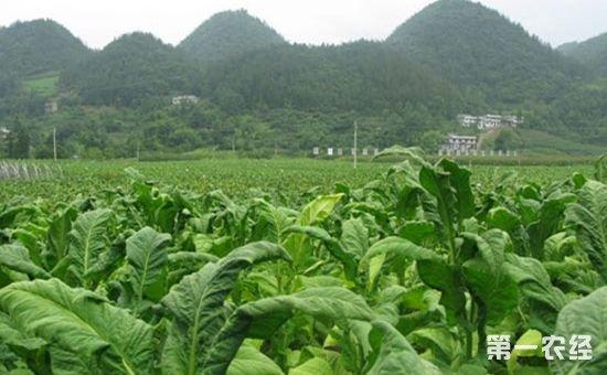 重庆:绿色防控为烟草农业保驾护航