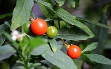 四季果怎么养?四季果的养殖方法和注意事项