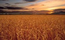 <b>全球气温越来越高可能导致主要农作物产量减少</b>