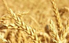 多国小麦商情大聚集:印尼购进加麦 美国小麦产量高于预计