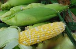 新疆博湖县巴州的甜玉米成为了当地农民发家致富的新法宝