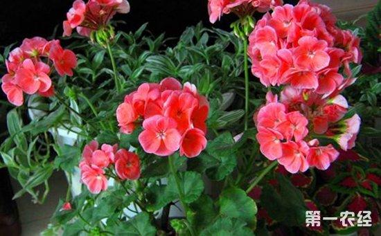 5种常见盆栽植物的扦插方法介绍!趁着秋季一盆变多盆