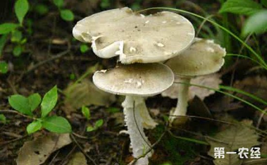 济南:10岁女童误食野生毒蘑菇身亡  这些辨别方法不靠谱!