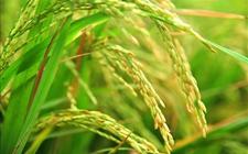 Scientific Reports:富含多种补充营养的一株转基因水稻