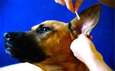 狗耳朵烂是什么病?狗耳朵烂了怎么办?