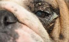 如何清洁狗的泪腺分泌?清理狗狗泪腺分泌的妙招