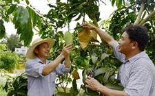 <b>江津油溪镇的热带水果成为8000农户的致富宝典</b>