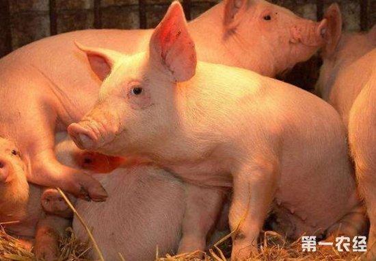 伪狂犬疫苗,将保温灯开启,让保温箱里面的温度适宜,防止过高灼伤小猪