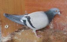 鸽子长鸽痘的变化过程