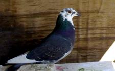 鸽子得了白喉病怎么办?鸽子白喉病的症状与治疗