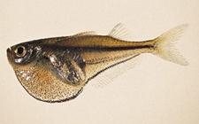 燕子鱼怎么分公母?
