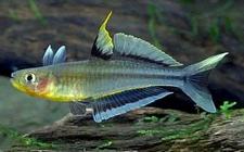 霓虹燕子吃虾吗?霓虹燕子吃什么饲料?