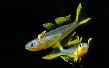 霓虹燕子寿命多长?霓虹燕子鱼怎么繁殖?