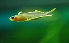 霓虹燕子鱼好养么?霓虹燕子会咬其他鱼么?