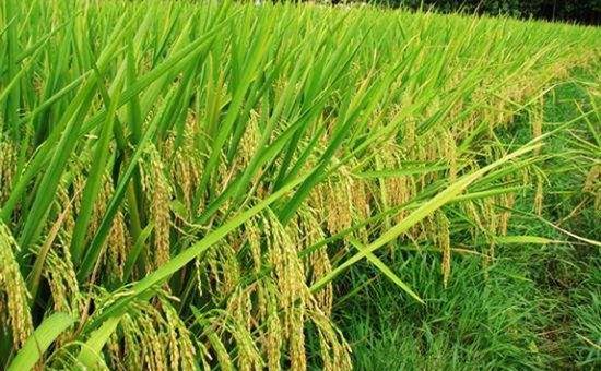 江西:效益是推动粮油供给侧改革的关键点