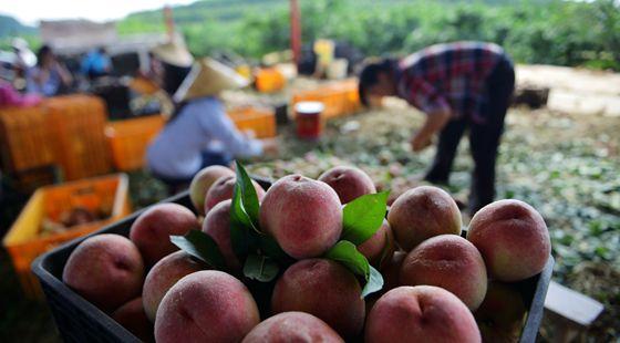 贵州开阳县:苹果桃成熟上市