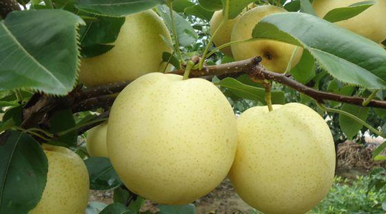 河南方城县:推广有机绿肥 种植有机梨果