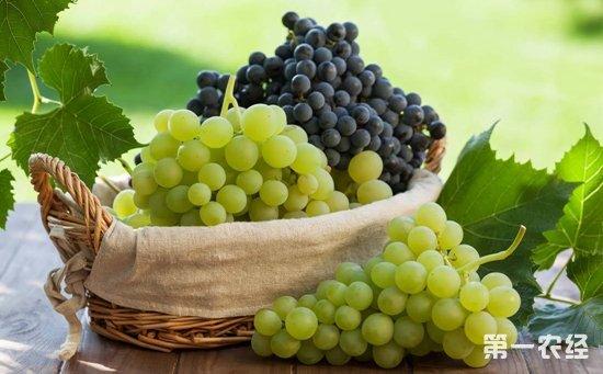 """吃了用""""乙烯利""""催熟的葡萄对身体有害?专家:消费者不用担心"""