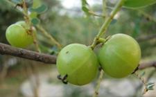 余甘果树常见病虫害防治