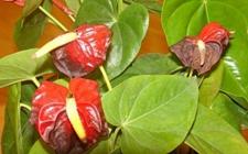 火鹤花常见病虫害及其防治方法
