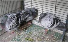 鸽子腺病毒怎么治?信鸽腺病毒治疗方法