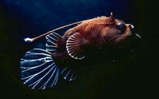 琵琶鱼是灯笼鱼吗?灯笼鱼和琵琶鱼的区别
