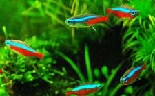 宝莲灯鱼寿命多长?宝莲灯鱼用什么水草?