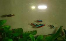 宝莲灯鱼可以和什么鱼混养?宝莲灯鱼配什么鱼最好?