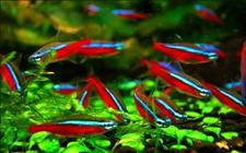 宝莲灯鱼是红绿灯鱼吗?红绿灯鱼和宝莲灯鱼的区别