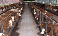 肉牛怎么称重?肉牛定期称重的方法