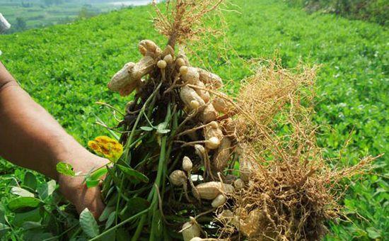 福建明溪:花生产业促农增收
