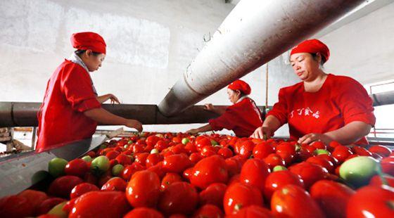 新疆博湖县:3.2万亩优质无公害工业番茄正陆续成熟上市