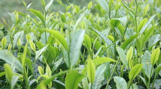 福建大田:三项举措推动茶产业发展