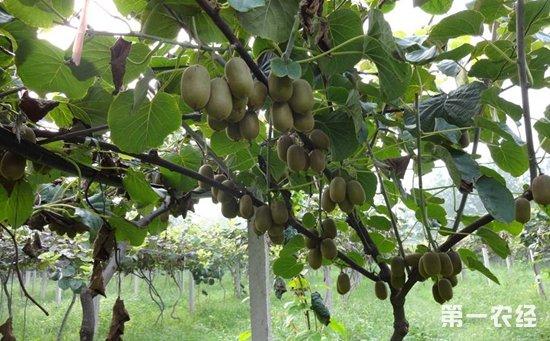 猕猴桃树长什么样 猕猴桃树怎么浇水
