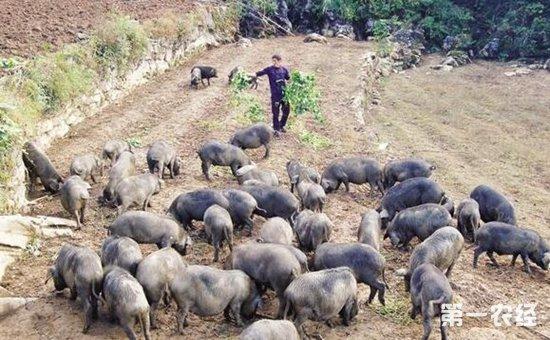 莱芜黑猪肉销售_生态黑猪的养殖的风险大吗散养黑猪的前景及利润-养猪技术