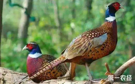 野鸡有几个品种?常见的野鸡品种有哪些?