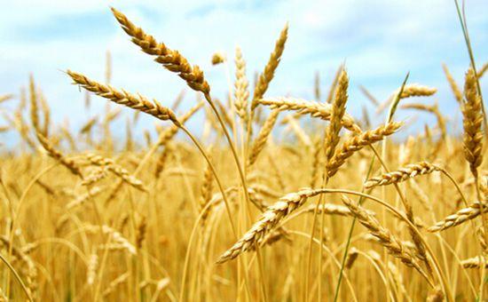 宁夏:开展麦后复种小麦一年两熟探索性试验