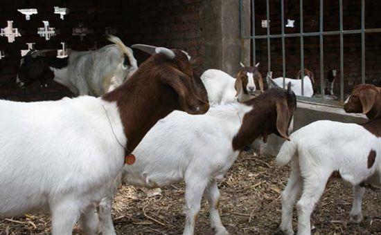 养羊补贴出台 养羊户可以去申请啦!