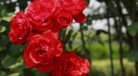 昆明斗南:七夕节将至 红色切花月季销量猛涨