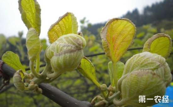 猕猴桃叶子发黄 卷曲怎么办图片